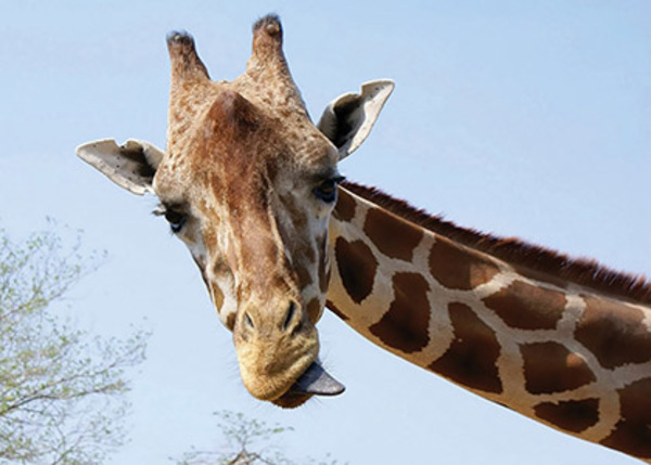 06_Animal-pictures-giraffe_420